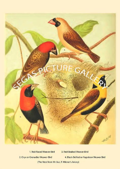 Fine art print of the Various Weaver-Birds  by the artist William Rutledge (1878)